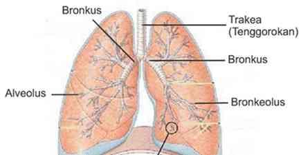 Fungsi Alveolus di Paru-Paru Manusia