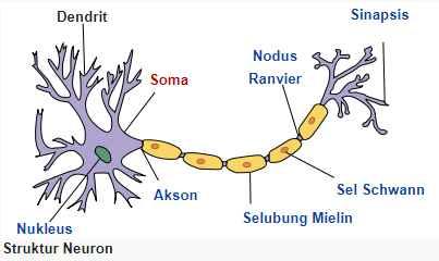 Fungsi Dendrit, Pengertian dan Struktur pada Sistem Saraf