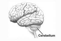 fungsi otak kecil