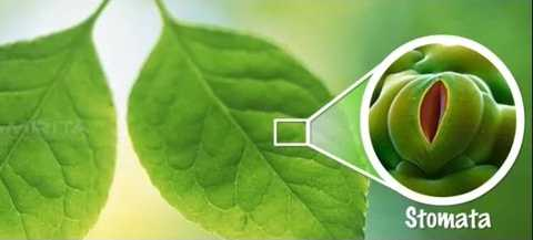 Fungsi Stomata, Pengertian, Struktur Tipe pada Tumbuhan