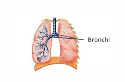 Fungsi Bronkus, Struktur dan Pengertian di Sistem Pernafasan