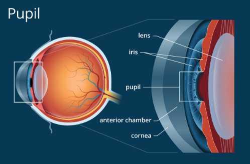 fungsi pupil